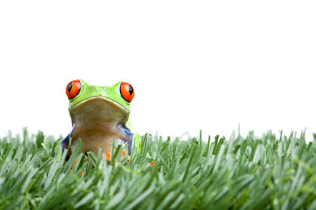 frog in the grass, a red-eyed tree frog closeup isolated on white Stock Photo - 2548810