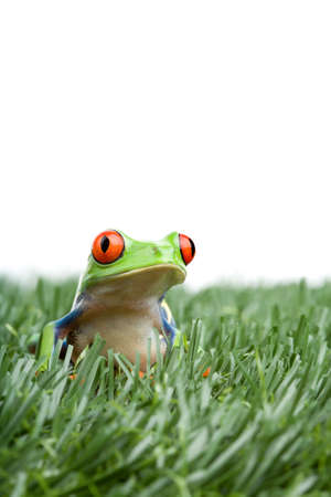 agalychnis: red-eyed tree frog (Agalychnis callidryas) in the grass, closeup isolated on white