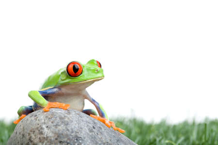 agalychnis: red-eyed tree frog (Agalychnis callidryas) on a rock with grass, closeup isolated on white