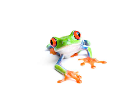 agalychnis: red-eyed tree frog (Agalychnis callidryas) closeup isolated on white Stock Photo