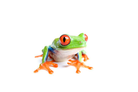 agalychnis: red-eyed tree frog (Agalychnis callidryas) closeup, isolated on white Stock Photo