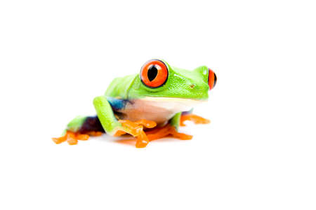 Frog closeup - a red-eyed tree frog (Agalychnis callidryas) isolated on white.