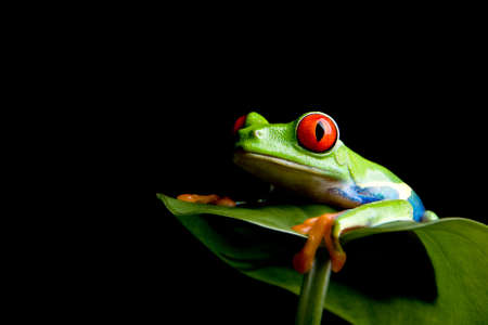 frog green: red-eyed tree frog (Agalychnis callidryas) on a leaf, closeup isolated on black