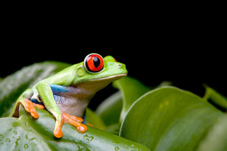 red-eyed tree frog sitting on a plant, isolated on black background Stock Photo - 2548816