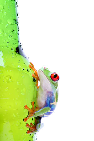agalychnis: red-eyed tree frog climbing on wet glass, Agalychnis callidryas closeup isolated on white Stock Photo