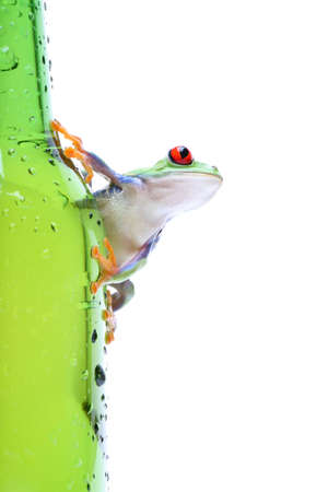 clinging: frog on glass - a red-eyed tree frog (Agalychnis callidryas) closeup on green bottle