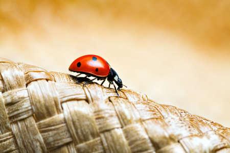coccinella: ladybug macro crawling on a woven hat