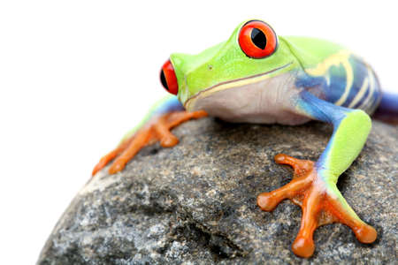frog on a rock - a red-eyed tree frog (Agalychnis callidryas) closeup isolated on white