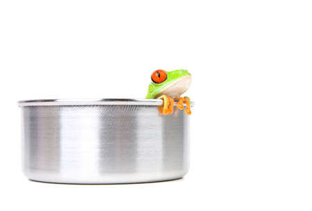 agalychnis: frog in a cooking pot closeup isolated on white - red-eyed tree frog (Agalychnis callidryas) Stock Photo
