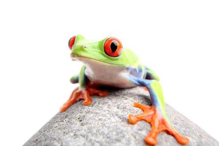 treefrog: red-eyed tree frog on a rock, closeup isolated on white. Agalychnis callidryas.
