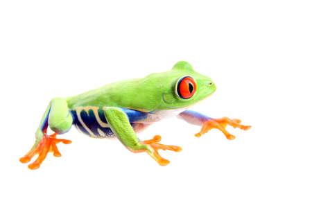 callidryas: frog isolated on white - a red-eyed tree frog (Agalychnis callidryas) closeup side