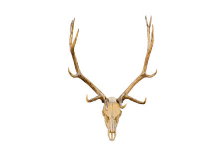 elk skull with antlers closeup isolated on white. (Cervus canadensis)