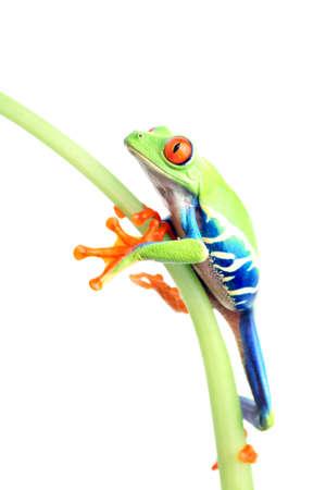 callidryas: frog climbing up plant stem isolated on white. A red-eyed tree frog (Agalychnis callidryas) closeup Stock Photo