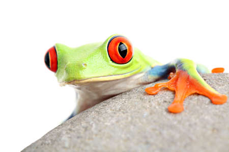 callidryas: frog on a rock isolated on white - a red-eyed tree frog (Agalychnis callidryas) Stock Photo