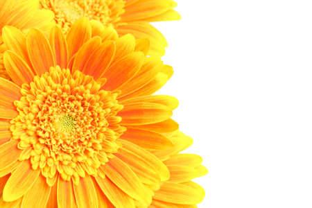 flowers background isolated on white - yellow orange daisies macro photo