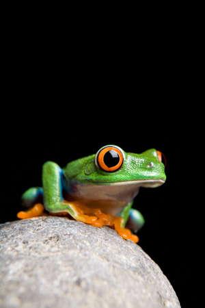 frog on a rock closeup isolated on black. Agalychnis callidryas. Stock Photo - 3073899