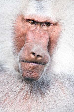 menacing: baboon portrait close up with menacing look, a male Hamadryas Baboon (Papio hamadryas)