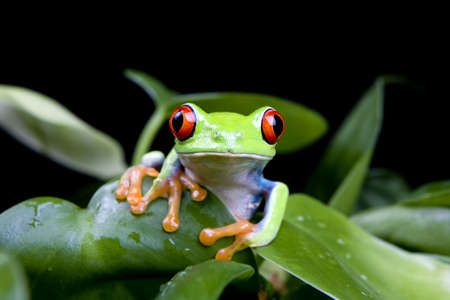 frog in a plant isolated on solid black - a red-eyed tree frog (Agalychnis Callidryas) Stock Photo