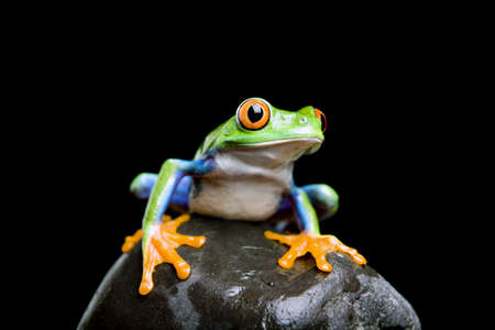 agalychnis: frog on a rock closeup and isolated on black - red-eyed tree frog (Agalychnis callidryas)
