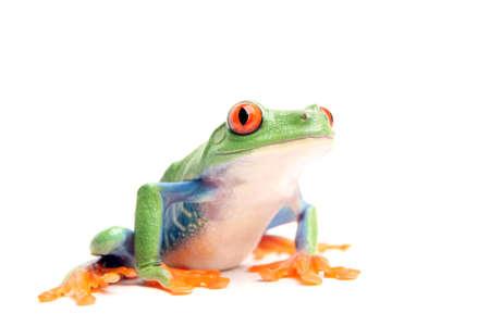 treefrog: frog closeup isolated on white - a red-eyed tree frog (Agalychnis callidryas)