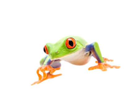 agalychnis: frog walking closeup isolated on white - a red-eyed tree frog (Agalychnis callidryas)