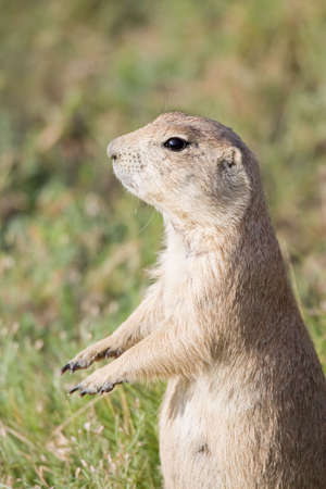 vigilant: prairie  standing vigilant on hind legs Stock Photo