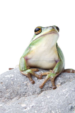 green tree frog: green tree frog on a rock, closeup isolated on white Stock Photo
