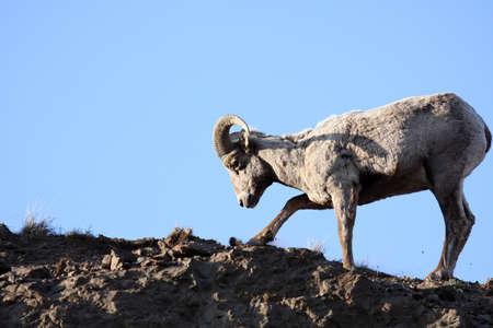 bighorn sheep: delle pecore scavando radici in cima a una scogliera. Late sole, motion blur su zoccolo. Wyoming