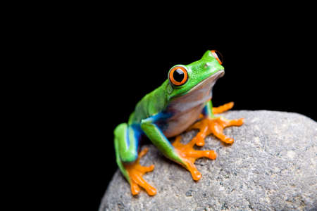frog on a rock closeup isolated on black. Red-eyed tree frog.
