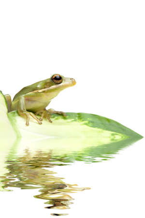 tree frog sitting on a leaf with water reflection Stock Photo - 3900443