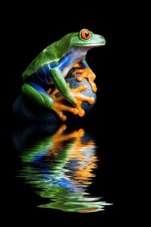 blue frog: rana en una roca - un �rbol de ojos rojos rana se aferran a su piedra, aislada en negro