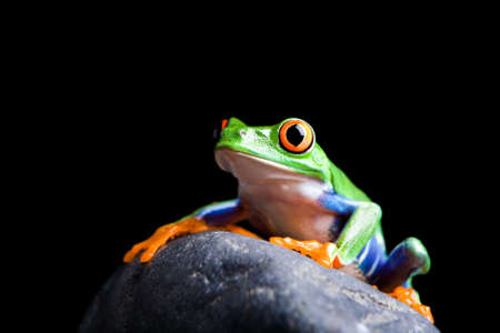 redeyed tree frog: frog on a rock closeup isolated on black Stock Photo