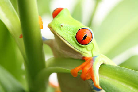 redeyed tree frog: frog in a plant - red-eyed tree frog closeup Stock Photo