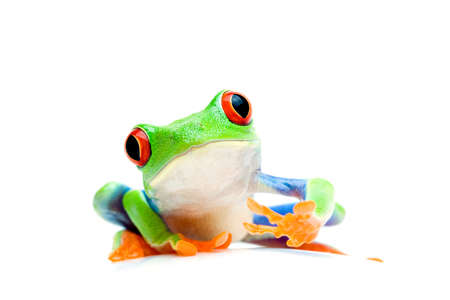 redeyed tree frog: frog curious and sitting on round surface - macro isolated on white. Agalychnis Callidryas. Stock Photo