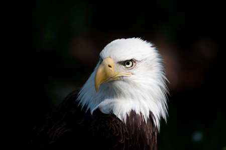 eagle feather: american bald eagle close up of head Stock Photo