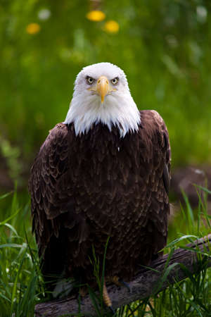 bald eagle perched on branch close up Stock Photo - 5035133