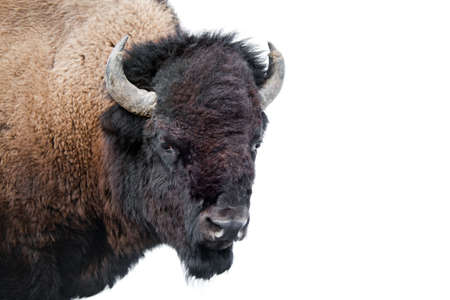 overexposed: American Bison  buffalo isolated on white. Image shot in Yellowstone National Park against over-exposed snow background.