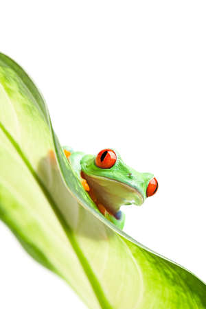 agalychnis: frog on a leaf - red-eyed tree frog (Agalychnis callidryas) isolated on white