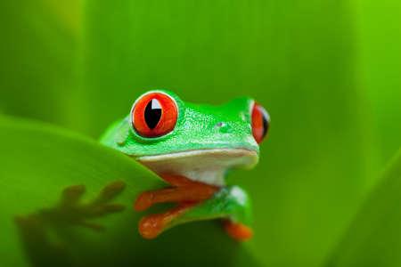 kikker in een fabriek - red-eyed tree frog Agalychnis callidryas Stockfoto