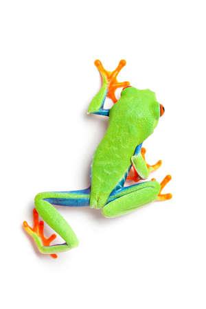 sapo: rana desde arriba cerca de rastreo hasta aislado sobre fondo blanco - rana olivaceus (Agalychnis callidryas)