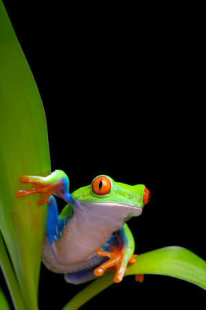 callidryas: frog between plant leaves close up isolated on black - red-eyed tree frog (Agalychnis callidryas) on bamboo
