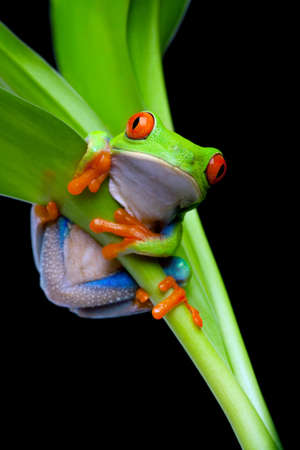 tree frog: red-eyed tree frog clinging to a plant isolated on black - red-eyed tree frog (Agalychnis callidryas)