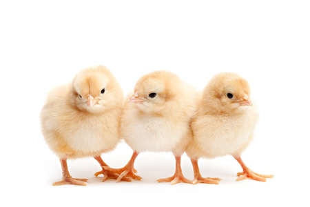 three cute baby chickens - Buff Corington chicks isolated on white