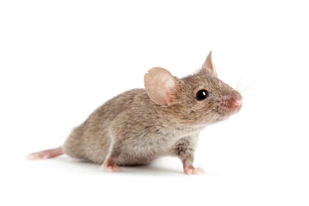 mouse animal: mouse closeup isolated on white background Stock Photo