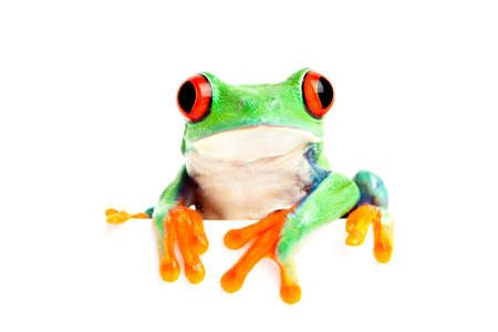redeyed tree frog: red-eyed tree frog (Agalychnis callidryas) isolated on white looking over edge - great for banner use and the like Stock Photo