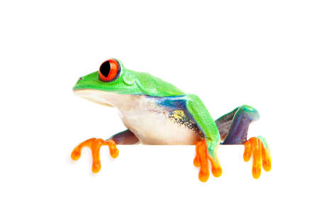 agalychnis: frog on the edge isolated on white - red-eyed tree frog (Agalychnis callidryas)