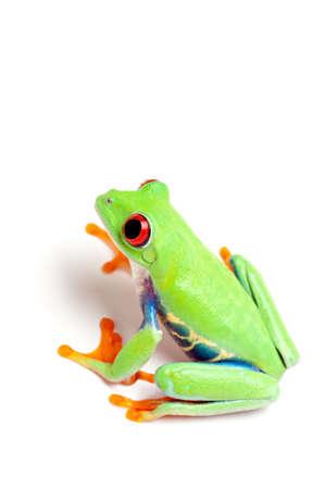 agalychnis: tree frog isolated on white background - red-eyed tree frog Agalychnis callidryas