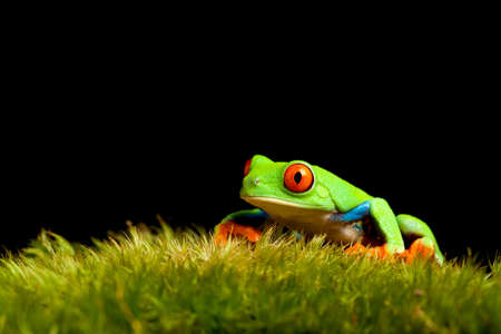 agalychnis: frog on natural moss isolated on black background - red-eyed tree frog (Agalychnis callidryas) Stock Photo