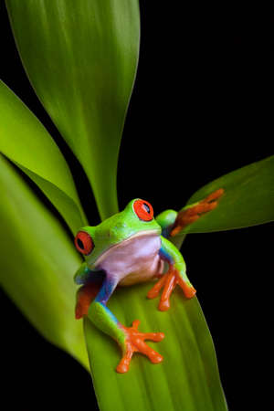 frog on leaf of a vibrant green plant isolated on black - a red-eyed tree frog (Agalychnis callidryas) close up photo