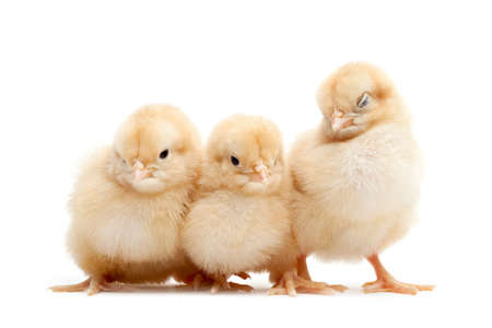 group of three cute fluffy chicks isolated on white